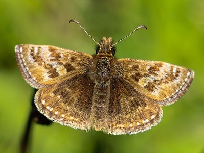 Dingy Skipper (Erynnis tages) at Betchworth Quarry and Lime Kilns