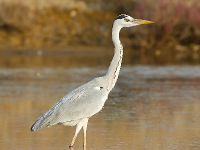 Grey Heron (Ardea cinerea) at RSPB Greylake