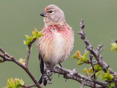 Linnet (Carduelis cannabina) ♂ at Bisley  West End Commons