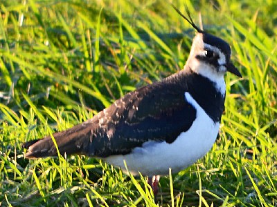 Northern Lapwing (Vanellus vanellus) at RSPB West Sedgemoor