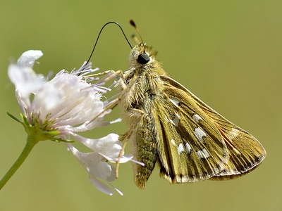 Silver-spotted Skipper (Hesperia comma) at Brockham Lime Works
